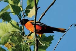 Baltimere Oriole