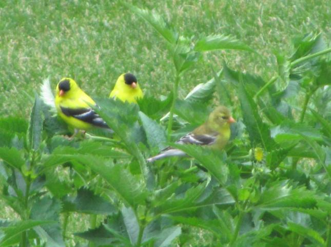 Clear goldfinches