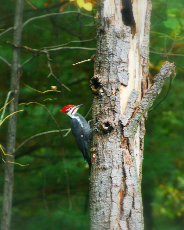 Hutchinson pileated