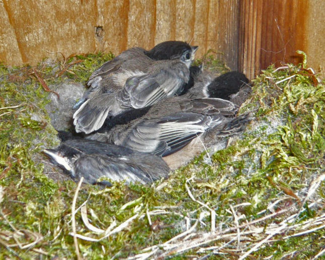 Chickadee nestlings 2012